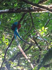 """La Réserve de Monteverde: un Quetzal Resplendissant mâle. Très rare en captivité, la journée commence bien ! ;) <a style=""""margin-left:10px; font-size:0.8em;"""" href=""""http://www.flickr.com/photos/127723101@N04/26876776461/"""" target=""""_blank"""">@flickr</a>"""