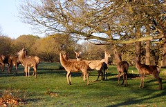 Richmond Park, London (elisecavicchi) Tags: park uk morning travel trees england sunlight london nature dawn early spring britain wildlife united great kingdom richmond deer explore