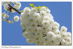 White Blossom (Paul Simpson Photography) Tags: tree nature blossom bluesky pearblossom naturalworld blossomtree whiteblossom beautifulnature photosof imageof photoof imagesof sonya77 paulsimpsonphotography may2016
