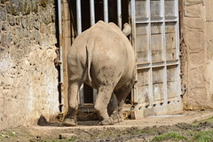 Chester Zoo (411) (rs1979) Tags: zoo chester rhino blackrhino chesterzoo