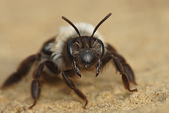 Andrena vaga, female (henk.wallays) Tags: