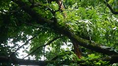 DSCN1435 (VerlynC) Tags: tree falling hickory