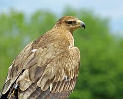 Tawny eagle (Blossom's Mom.(Sheila Hess)) Tags: bird eagle may 2016 tawnyeagle icbp