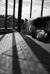 _DSC7692bw (chiaratrevisan68) Tags: cats sun nuvole cielo sole gatto domestici animali zampa siberiano