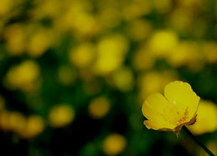 stand out  144/366 (horsesqueezing) Tags: sunshine yellow buttercup bokeh day144366 366the2016edition 3662016 23may16