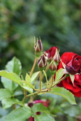 DSC_2042 (PeaTJay) Tags: flowers roses plants macro nature rose gardens fauna outdoors reading flora micro closeups berkshire rosebuds lowerearley nikond750