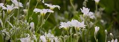 IMG_0152 (Teekanne2) Tags: light summer sun white plant flower green nature yellow licht blossom outdoor sommer natur pflanze gelb grn blume blte sonne marguerites margeriten weis drausen