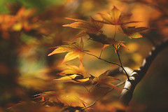 Maple in May (Tammy Schild) Tags: light orange tree nature leaves season spring shadows branches japanesemaple limb