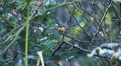 Eastern Spinebill (Edwinna Bartley) Tags: sydney nsw australianbirds backyardbirds easternspinebill acanthorhynchustenuirostris