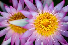Too Beautiful to Name (Thomas Hawk) Tags: usa flower america texas waterlily unitedstates unitedstatesofamerica houston waterlillies nymphaeaceae fav10 fav25 mercerbotanicgardens