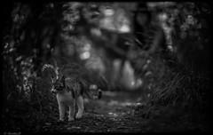 Malena (Pilouchy) Tags: life wood blackandwhite dog monochrome cat chat wolf noir bokeh free lumiere foret malena chemin chaton