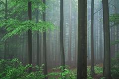 * (sedregh (on/off)) Tags: summer mist green fog forest landscape woods nebel sommer eifel grn landschaft wald