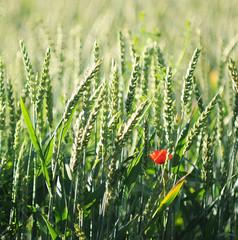 poppy (Frau Koriander) Tags: flowers red flower rot nature field corn dof blossom bokeh wheat natur grain feld poppy poppies ear blume blte cereals vivitar darmstadt 135mm mohn getreide gerste kranichstein weizen roggen hren getreidefeld mohnblte mohnblten vivitar13528 nikond300s