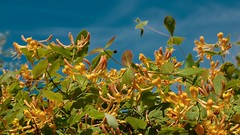 Flower in blue sky (Yasmine Hens) Tags: blue orange flower fleur europa flickr belgium ngc bluesky bleu ciel blum namur hens bloem yasmine wallonie iamflickr flickrunitedaward hensyasmine