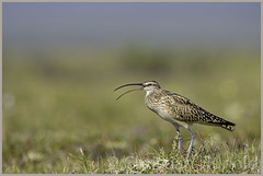 bristle-thighed curlew (Christian Hunold) Tags: bird alaska nome shorebird councilroad sewardpeninsula bristlethighedcurlew christianhunold borstenbrachvogel