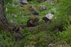 DSC_4722 (d90-fan) Tags: nature animals outdoors austria tiere sterreich natur rauris hohetauern tauern krumltal murmeltiere raurisertal