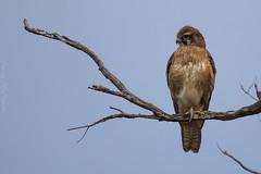 Brown Falcon Brookfield Conservation Park SA (danny.mccreadie2) Tags: park brown conservation falcon brookfield sa