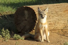 Posing in the Sun (Flickr Goot) Tags: morning june canon is colorado wildlife fox co swift plains eastern 2016 sx160
