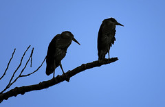 Young Herons_Silhouette (Canuck Chick) Tags: heron nature silhouette great chick cottonwood greatblueheron fledgling chilliwack