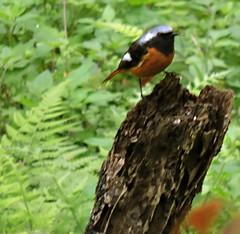 Daurian Redstart, Phoenicurus auroreus (asterisktom) Tags: park taiwan national gorge february taroko hualien redstart tarokogorge 2016 daurianredstart phoenicurusauroreus trip20152016cambodiataiwan tarokogorgepark
