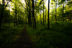 Forest path (Costigano) Tags: trees ireland irish green canon woodland eos woods path beech mullaghmeen camhino