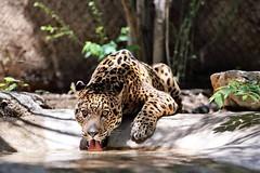 A46A1426 (fullerb) Tags: cat zoo big jaguar thirsty
