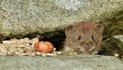 peek a boo.............. (Suzie Noble) Tags: wall garden mammal vole bankvole stonedyke strathglass struy