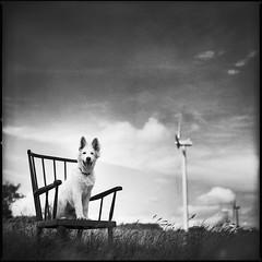 Loki (Jib Peter) Tags: portrait dog 6x6 analog mediumformat 120film argentique kodaktx400 planar80mm hasselblad503cxi