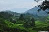Ladang Teh (2121studio) Tags: nature nikon ali malaysia indah cameronhighlands kuantan alam malaysianphotographer drali sgpalasteaplantation 2121studio kuantanphotographer pahangphotographer ciptaanallahswt 0139342121 nubleebinshamsubahar