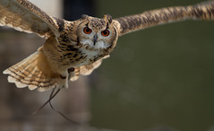 An owl looking at me (Takashi(aes256)) Tags: owl     canonef70200mmf4lisusm indianeagleowl kakegawakachoen canoneos7d