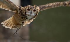An owl looking at me (Takashi(aes256)) Tags: owl 日本 静岡県 掛川花鳥園 ミミズク canonef70200mmf4lisusm indianeagleowl kakegawakachoen canoneos7d 掛川市 ベンガルワシミミズク