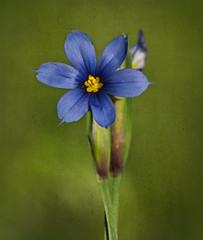 Tiny Little Blue Wildflower (Judy Rushing) Tags: blue color flickr wildflower nhm bluewildflower ngm herowinner rossbarnettereservoir kimklassen kimklassentexture kktexturenutmeg