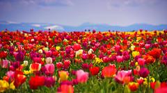 Fields (William (tectum macula) Walsh) Tags: flower field oregon canon tulip xsi woodburn woodenshoetulipfarm 112picturesin2012 89fieldormeadow