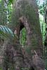 Rainforest_Maiala National Park_ (:: Blende 22 ::) Tags: tree rainforest australia brisbane queensland mtglorious canon50d treesubject canoneosd