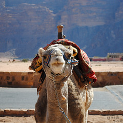 Posing for the camera (Danology) Tags: travel animal animals fauna mammal nikon desert wadirum canyon jordan camel mammals ungulate hashemitekingdomofjordan  kingdomofjordan  nikond3000