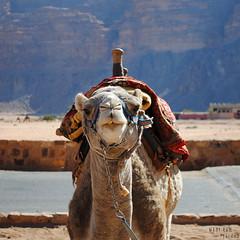 Posing for the camera (Danology) Tags: travel animal animals fauna mammal nikon desert wadirum canyon jordan camel mammals ungulate hashemitekingdomofjordan  kingdomofjordan  nikond3000