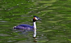Great crested grebe (Alchimi) Tags: canon 550d alchimiae
