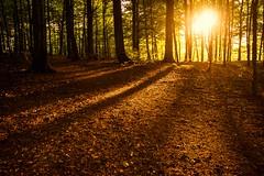 Bkeskogen, Larvik (Stian Olsen-Dahl) Tags: trees sunset forest shadows backlit solnedgang trr siluett motlys skygger bkeskogen