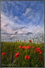 A break in the weather (frattonparker) Tags: sky field barley clouds rural wheat cereal cumulus poppy crops agriculture isle maize wight cirrus papaver capturenx2 tamron1024mm nikond5000 colorefexpro4 btonner frattonparker