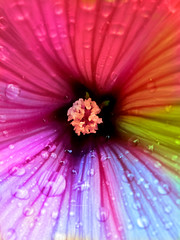 rainbow mallow (prairiegirl studio) Tags: summer flower color june garden fun rainbow bloom mallow owp shuttersisters prairiegirlstudio sscolormonth