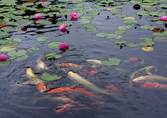 Water Lily and Carp (h orihashi) Tags: japan pond pentax hiroshima  carp k5  coth supershot mywinners abigfave royalgroup impressedbeauty flickrhearts diamondclassphotographer flickrdiamond citrit heartawards diamondstars flickrestrellas cherryontopphotography hatsukaichishi therubyawards damniwishidtakenthat flickraward pentaxk5