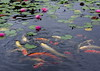 "Water Lily and Carp (h orihashi) Tags: japan pond pentax hiroshima 日本 carp k5 広島 coth supershot mywinners abigfave royalgroup impressedbeauty flickrhearts diamondclassphotographer flickrdiamond citrit heartawards diamondstars flickrestrellas cherryontopphotography hatsukaichishi therubyawards damniwishidtakenthat ""flickraward pentaxk5"