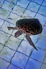 Penyu (Eka Purna Sumeika *PIC*) Tags: portrait bali water indonesia denpasar penyu d3000 pulauserangan nikond3000
