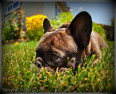 Grazin' in the Grass [C_049128] (Steven Christenson) Tags: flowers brown window grass yellow backyard head pierre headshot fisheye frenchbulldog resting paws 15mm brendle
