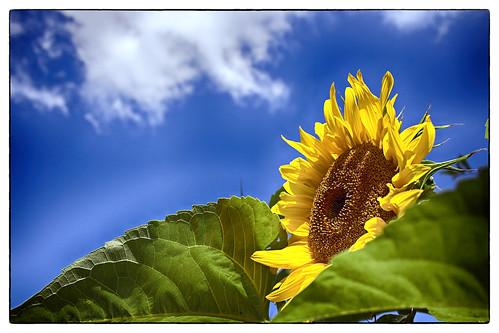 IMG_1311 (vivids8) summer italy macro estate girasole eos650d