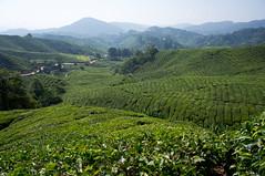 Plantation de th, Cameron Highlands (b-noy) Tags: tea malaysia tanahrata cameronhighlands teaplantation malaisie th plantationdeth