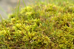 Tree-moss, Climacium dendroides, large clump on limestone pavement, with Galium sterneri, Winskill Stones, Settle, Yorkshire Dales     DSC_4430 (Cladoniophile) Tags: macro nature closeup moss wildlife limestone mosses musci calcareous bryophyte cryptogam calcicole