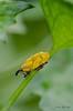 Lixus SP. - DSC_1615 (Jack O'Donate) Tags: macro proxy curculionidae lixus rhynchites charençon nikond7000 sigma150mmf28apomacrodgexoshsm