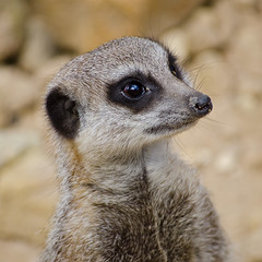 I Can Has Wormz? (Mr:Mac) Tags: meerkat nikon sheffield expectation tropicalbutterflyhouse northanston d7000