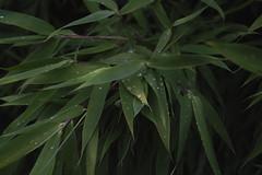 sweet secrets (vaquey) Tags: leaves drops bamboo sweetsecrets sooc vaquey dp2s